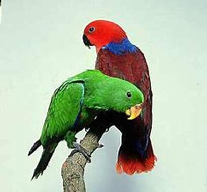 Grand Eclectus Parrot FEMALE : image 1