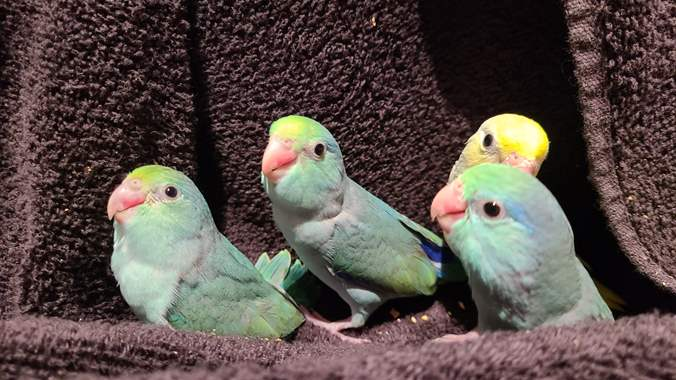 Parrotlet Turquoise  : image 1