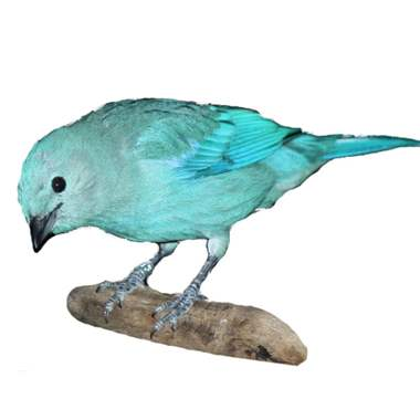 Blue Gray Tanager : image 1