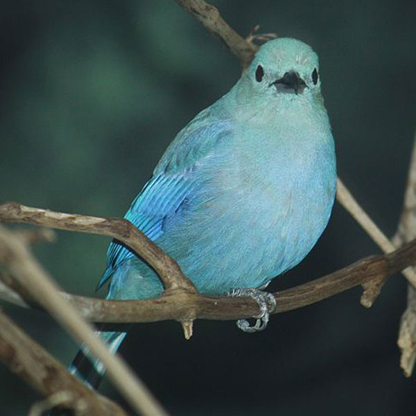 Blue Gray Tanager : image 2