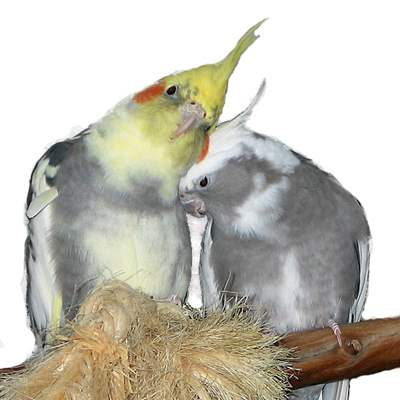 Adult Cockatiels