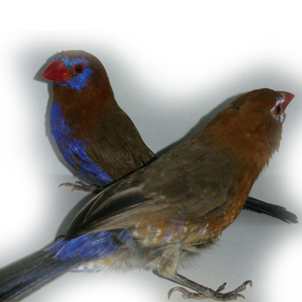 Purple Granadier Finch (Pair)