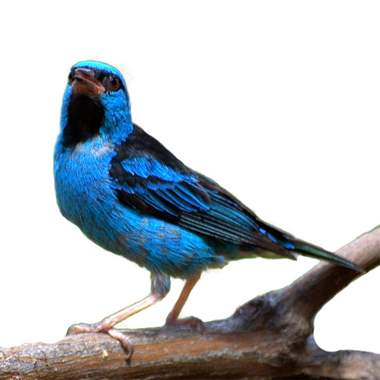 Black Faced Dacnis Pair : image 1