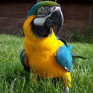 Blue & Gold Macaw Babies : image 3