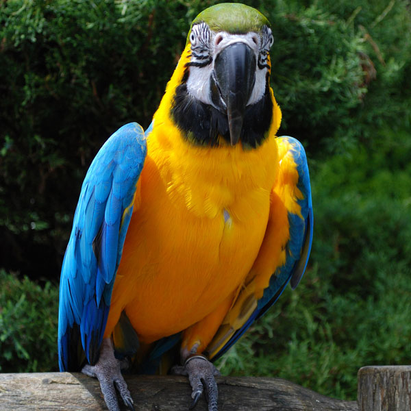 Blue & Gold Macaw Babies : image 2