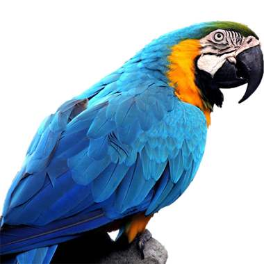 Blue & Gold Macaw Babies : image 1