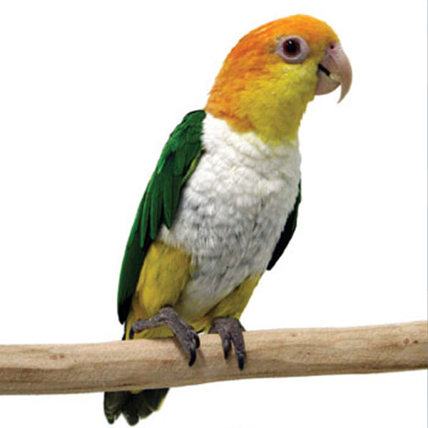 White Belly Caique  : image 2