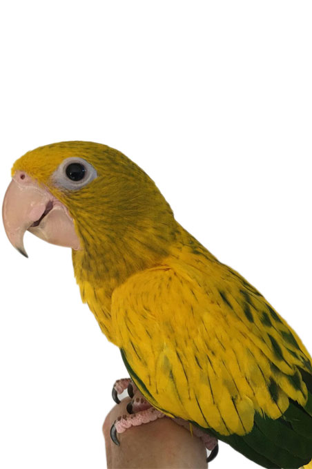 Golden Conure : Thumb 1