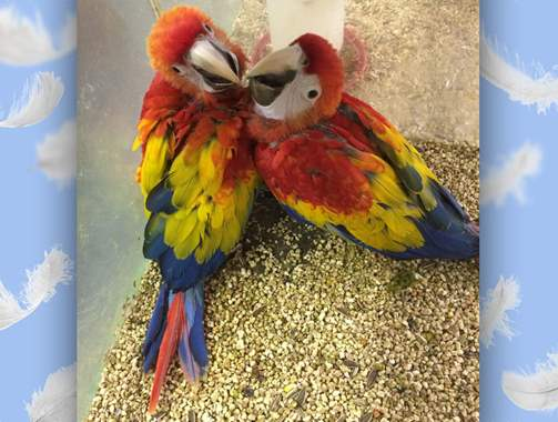 Greenwing Macaw : image 2