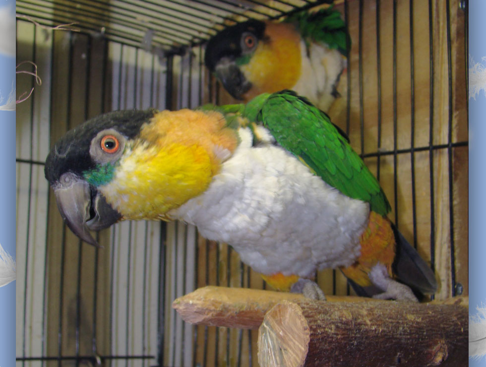 White Belly Caique  : image 3