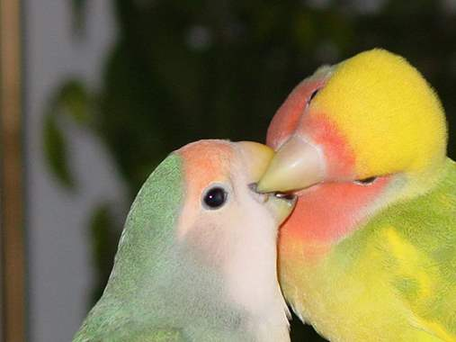 Lovebirds - Adults  : image 2
