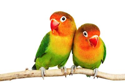 Handfed Love Bird