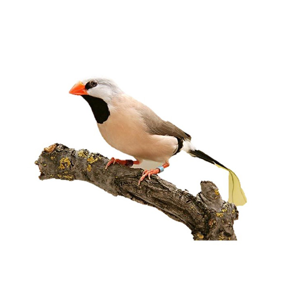 Shaftail Finch