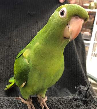 White Eye Conure : image 1