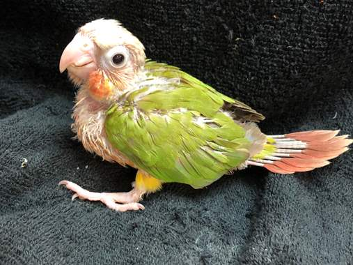 Pineapple Green Cheek Conure : image 3