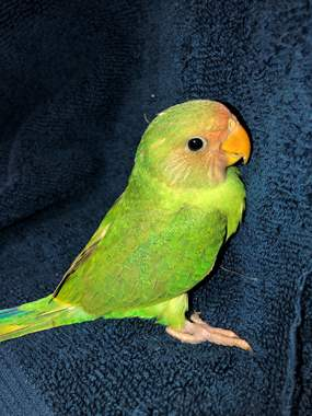 Parakeet Cross Plum Head/Slaty-Headed  : image 1
