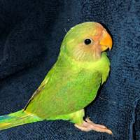 Parakeet Cross Plum Head/Slaty-Headed