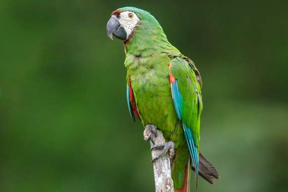 Severe Macaw : image 1