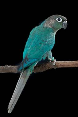 Turquoise Green Cheek Conure : image 1