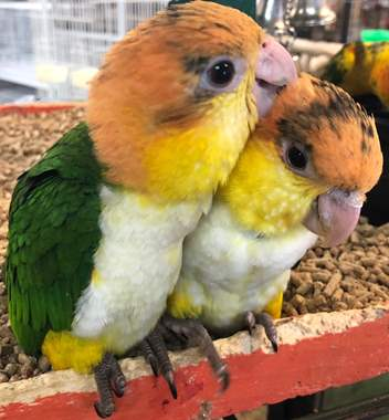 White Belly Caique : image 1